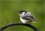 Nuthatch-fledgling - copyright birdingmaine 2009