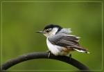 Nuthatch-fledgling - copyright birdingmaine 2009